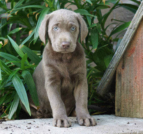 AKC Registered Silver Labrador Retriever For Sale Sugarcrek, OH Male- River