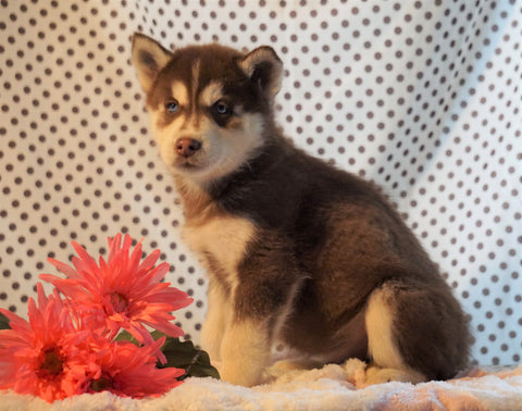 Siberian Husky For Sale Fredericksburg, OH Male- Bentley