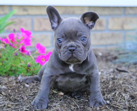 AKC Registered French Bulldog For Sale Millersburg, OH Male- Snickers