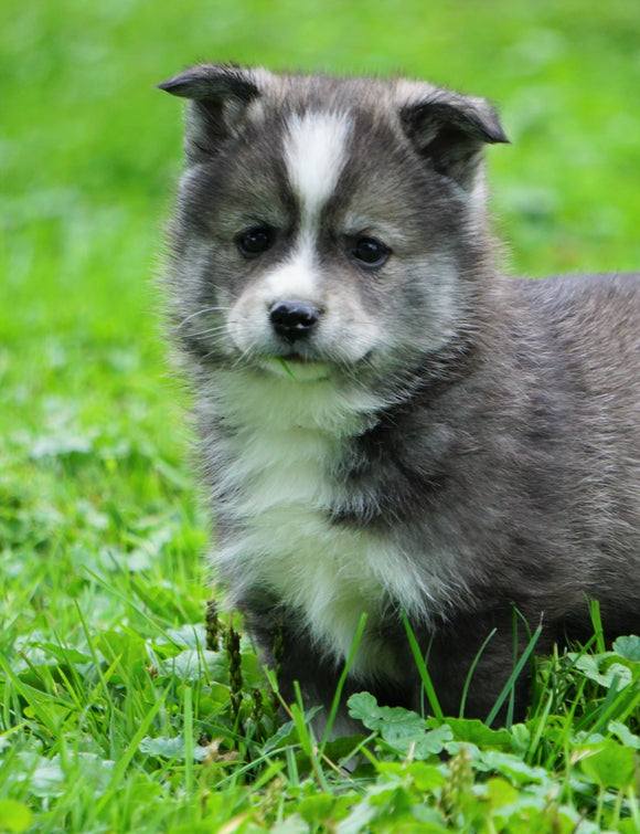 Mini Pomsky For Sale Sugarcreek, OH Female- Bella