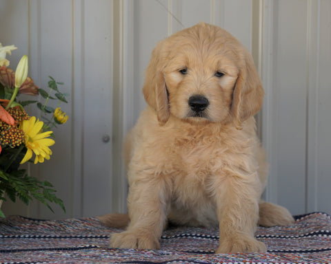Goldendoodle (Standard) For Sale Millersburg, OH Male- Cody