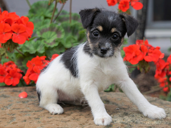 Foodle Puppy For Sale Applecreek, OH Female - Lady