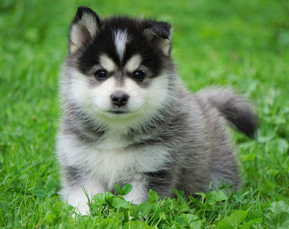 Mini Pomsky For Sale Sugarcreek, OH Male- Frankie