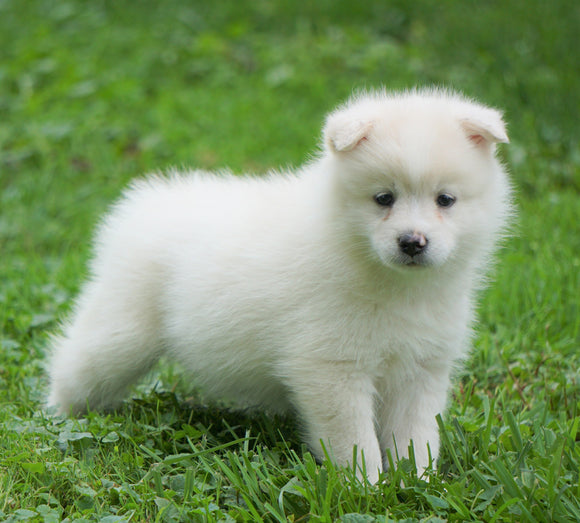 Mini Pomsky For Sale Sugarcreek, OH Female- Lola