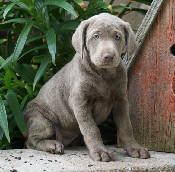 AKC Registered Silver Labrador Retriever For Sale Sugarcreek, OH Female- Lily
