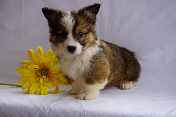 ACA Registered Pembroke Welsh Corgi For Sale Sugarcreek, OH Male- Roscoe