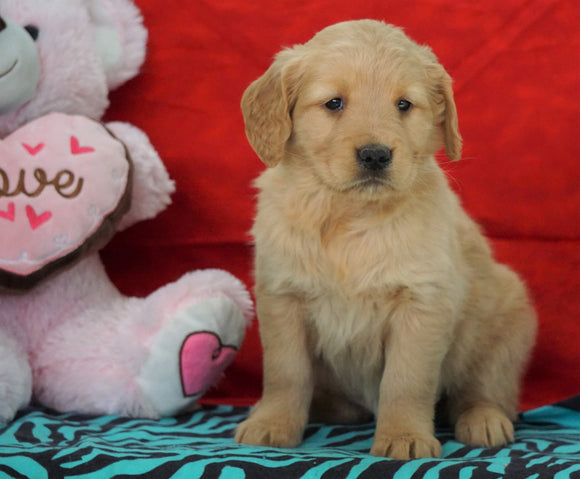 AKC Golden Retriever For Sale Holmesville, OH Female - Gracie