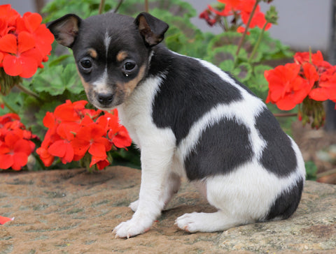 Toy Fox Terrier Puppy For Sale Applecreek, OH Female - Minnie