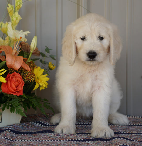 Goldendoodle (Standard) For Sale Millersburg, OH Female- Misty