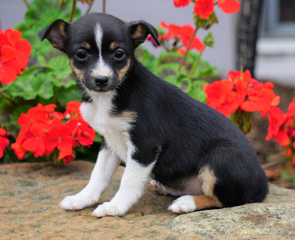 Toy Fox Terrier Puppy For Sale Applecreek, OH Female - Missy