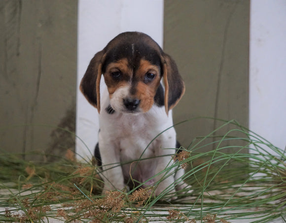 Beagle For Sale Fresno, OH Male- Jaxson