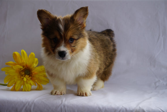 ACA Registered Pembroke Welsh Corgi For Sale Sugarcreek, OH Male- Bruno