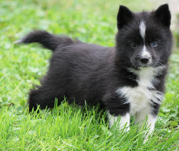 Mini Pomsky For Sale Sugarcreek, OH Male- Duke