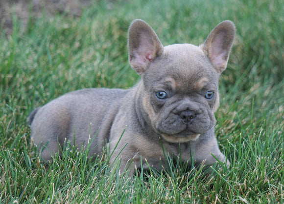 AKC Registered French Bulldog For Sale Millersburg, OH Male- Twix