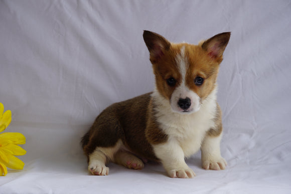ACA Registered Pembroke Welsh Corgi For Sale Sugarcreek, OH Male- Oscar