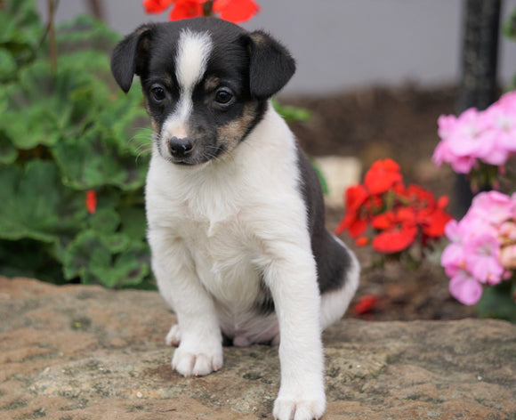 Toy Fox Terrier Puppy For Sale Applecreek, OH Male - Max