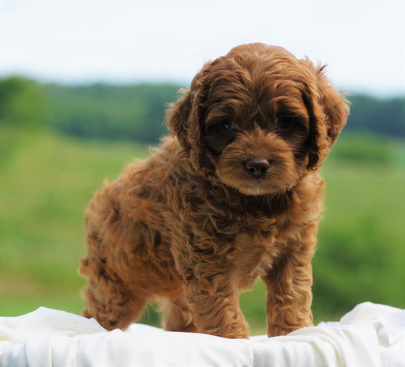 Cockapoo For Sale Dundee, OH Male- Pheonix