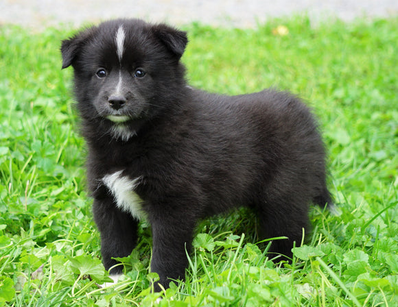 Mini Pomsky For Sale Sugarcreek, OH Male- Rambo