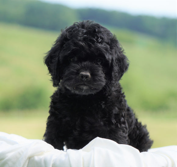 Cockapoo For Sale Dundee, OH Female- Emmi