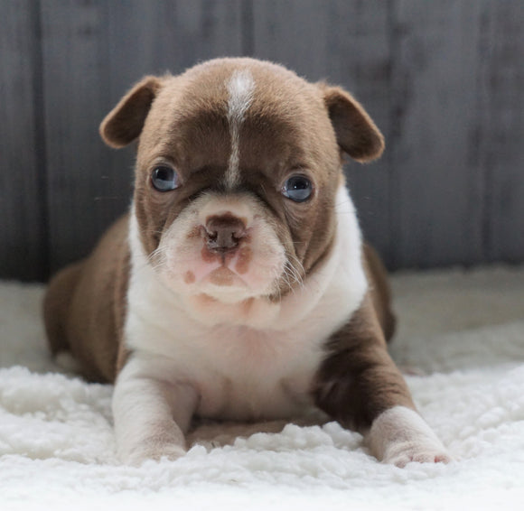 AKC Registered Boston Terrier For Sale Baltic, OH Female- Avery