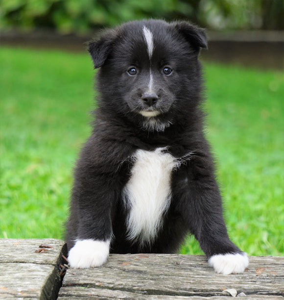 Mini Pomsky For Sale Sugarcreek, OH Male- Gunner