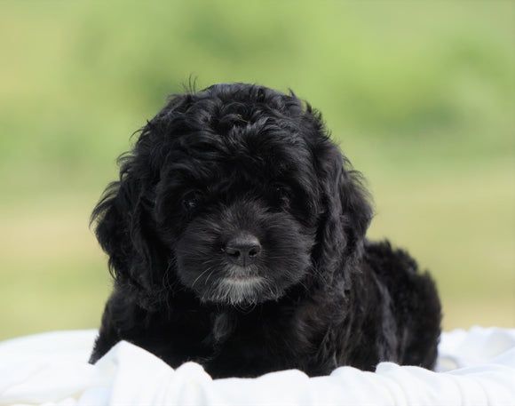 Cockapoo For Sale Dundee, OH Female- Avery