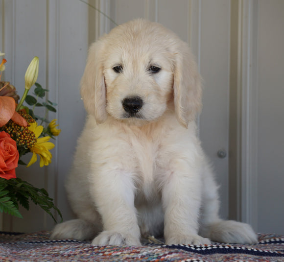 Goldendoodle (Standard) For Sale Millersburg, OH Male- Champ