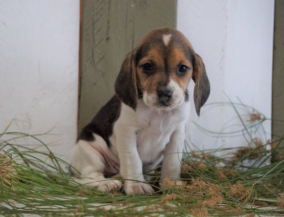 Beagle For Sale Fresno, OH Female- Kallie