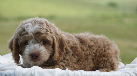 Cockapoo For Sale Dundee, OH Male- Cooper