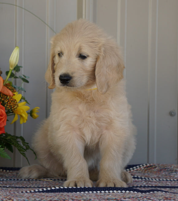 Goldendoodle (Standard) For Sale Millersburg, OH Female- Daisy