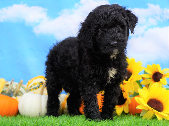 Mini Bernedoodle For Sale Sugarcreek, OH Female- Lily