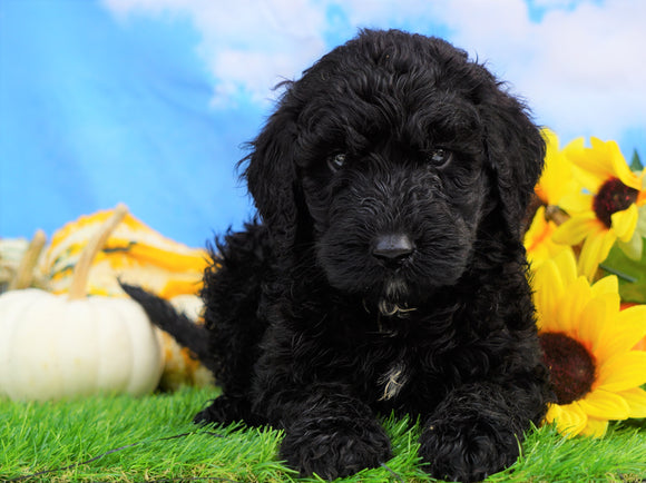 Mini Bernedoodle For Sale Sugarcreek, OH Male- Jaxson