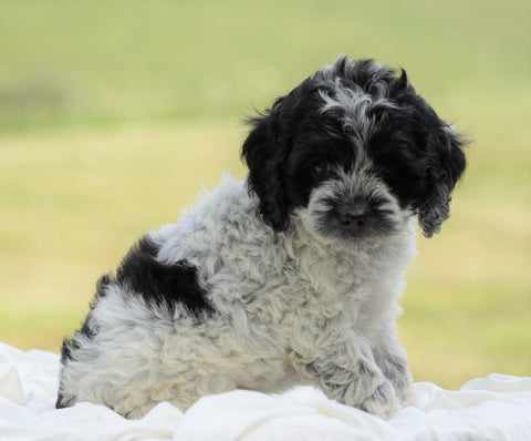 Cockapoo For Sale Dundee, OH Male- Jackson