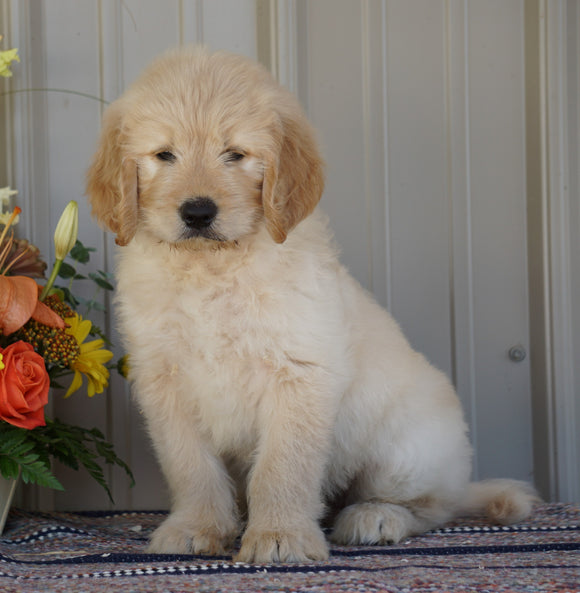 Goldendoodle (Standard) For Sale Millersburg, OH Male- Rambo