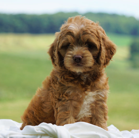 Cockapoo For Sale Dundee, OH Male- Bruce