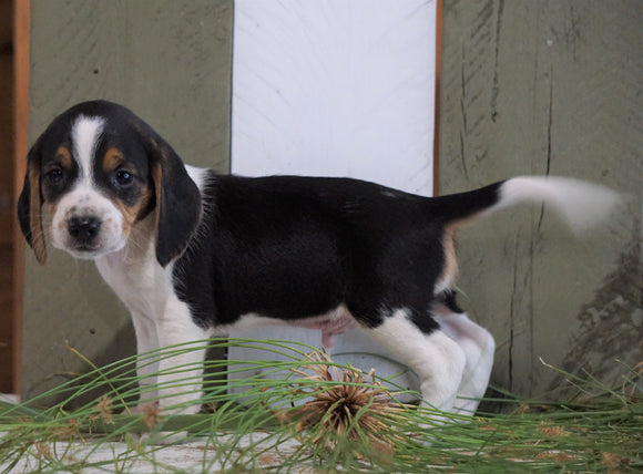 Beagle For Sale Fresno, OH Male- Max