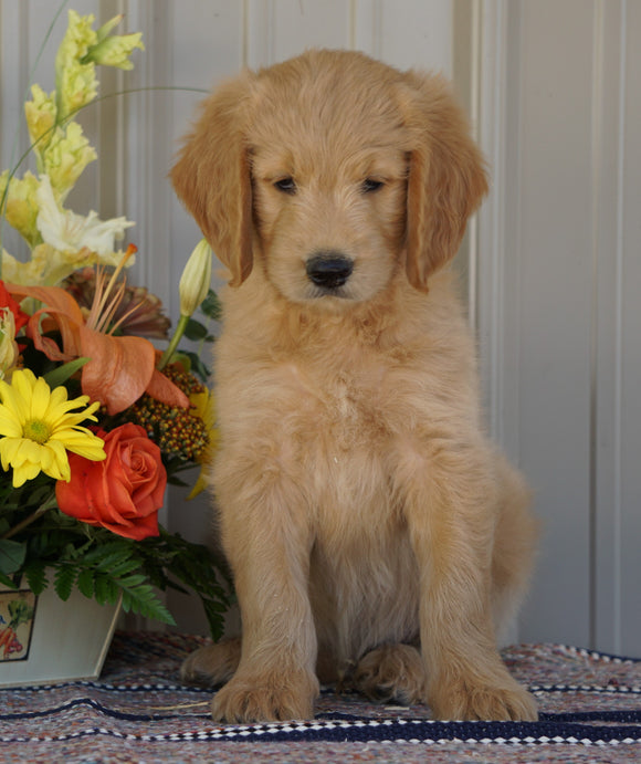 Goldendoodle (Standard) For Sale Millersburg, OH Male- Ashton