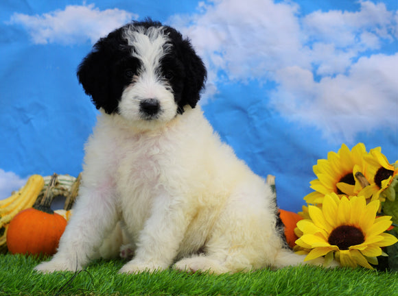Mini Bernedoodle For Sale Sugarcreek, OH Female- Zoey