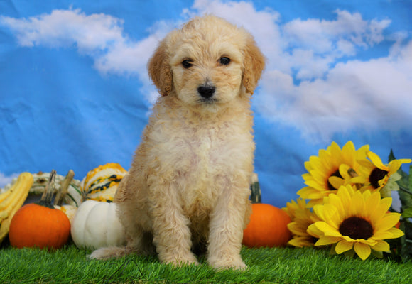 Mini Bernedoodle For Sale Sugarcreek, OH Male- Thor