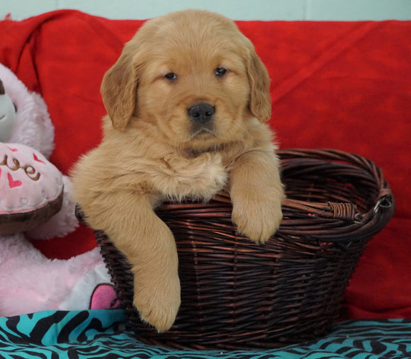 AKC Golden Retriever For Sale Holmesville, OH Male - Tucker