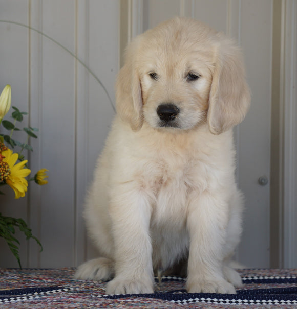 Goldendoodle (Standard) For Sale Millersburg, OH Male- Smokey