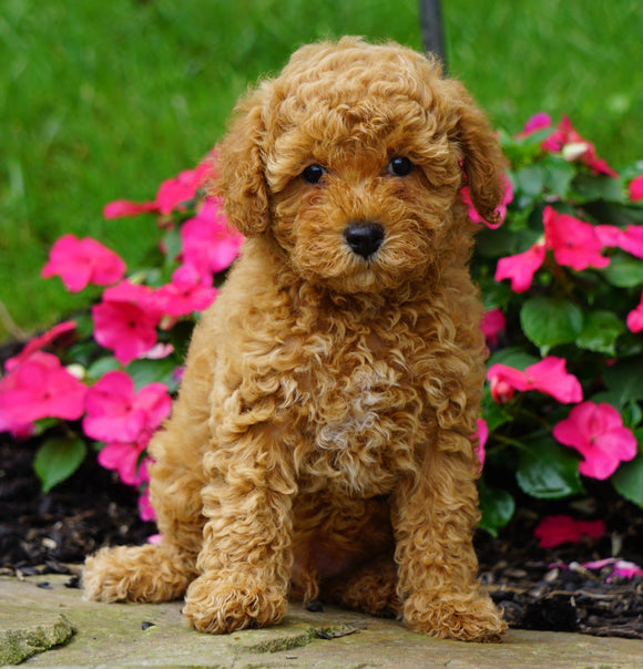 ICA Registered Toy Poodle For Sale Millersburg, OH Male- Cooper