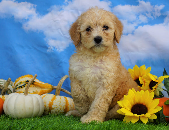 Mini Bernedoodle For Sale Sugarcreek, OH Female- Abby