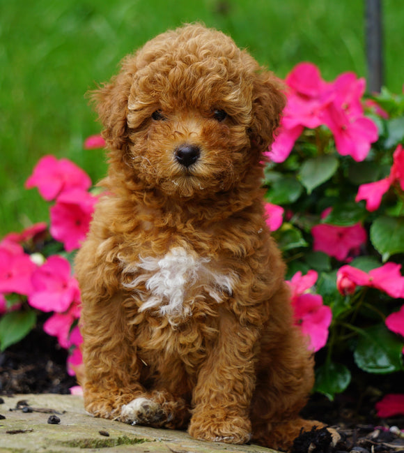 ICA Registered Toy Poodle For Sale Millersburg, OH Female- PeeWee