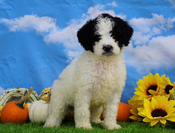 Mini Bernedoodle For Sale Sugarcreek, OH Male- Theo