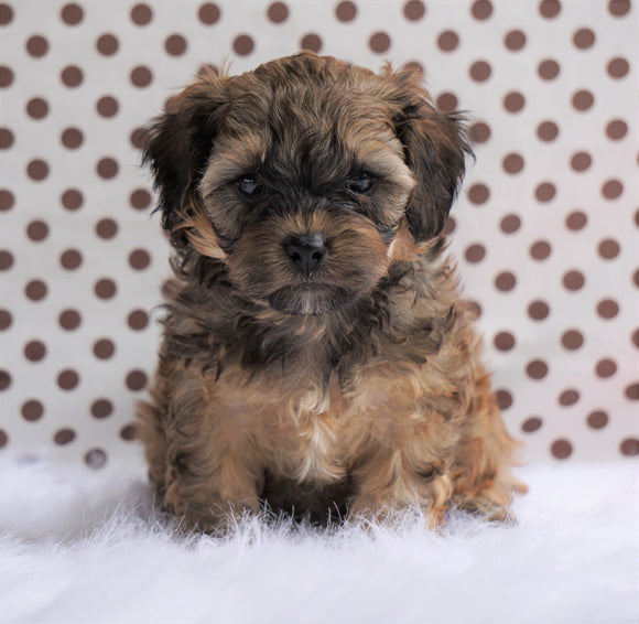 Cavapoo For Sale Fredericksburg, OH Male- Cameron