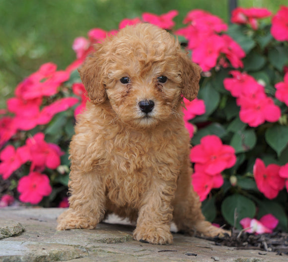 ACA Registered Toy Poodle For Sale Millersburg, OH Male- Korey