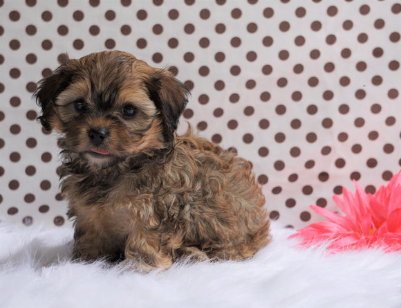 Cavapoo For Sale Fredericksburg, OH Female- Cindy