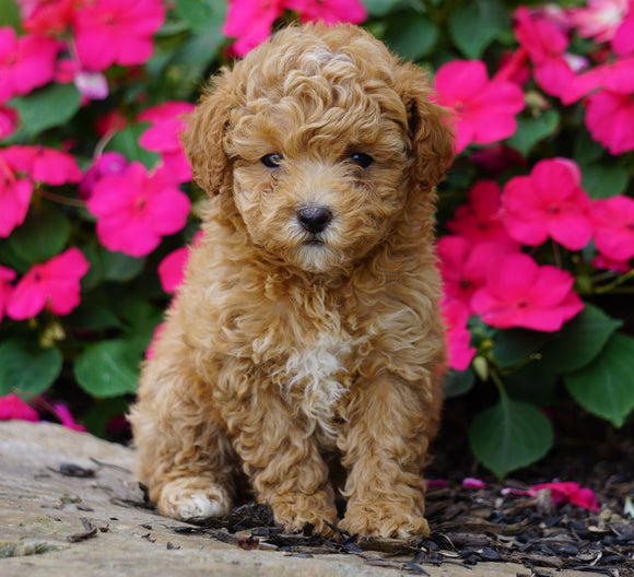 ACA Registered Toy Poodle For Sale Millersburg, OH Female- Kara