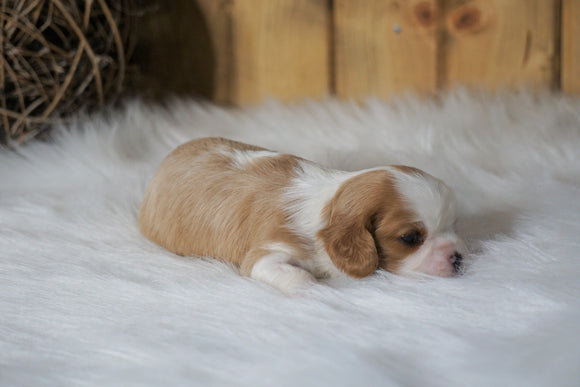 AKC Registered Cavalier King Charles Spaniel For Sale Fredericksburg, OH Female- Lexie